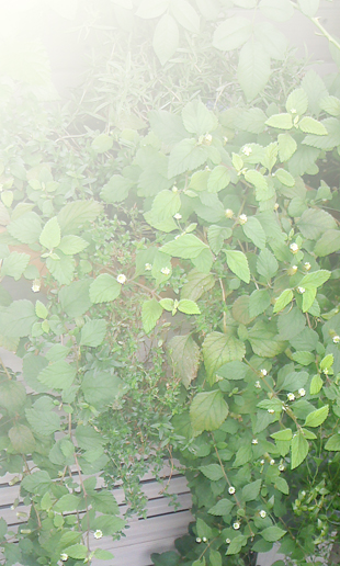 2013090712090001Mexican herb.jpg