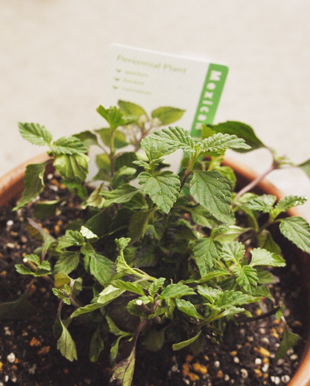 _1100837Mexican herb.jpg