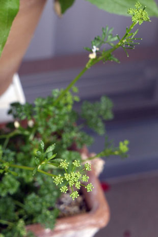 _1120825parsley.jpg